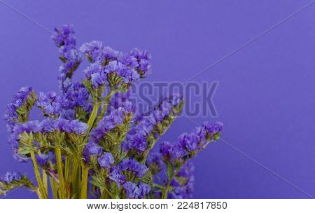Violet flowers against an ultra violet background (copy space on the right), concept of the Ultra Violet as the Color of the Year 2018