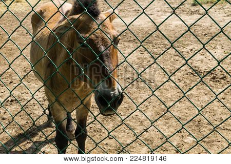 Przewalski wild horses in zoo. The Przewalski horse is a rare, endangered breed of horses in the Red book of conservation. Animals in captivity