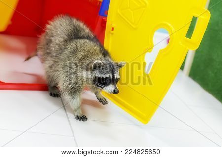 A pet raccoon in your house multicolored