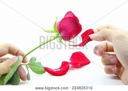 Gulping by  Rose petals / pluck the Rose petals