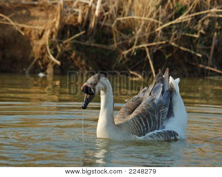 Photo of a goose taken in the late afternoon with droplets of water from its bill. poster