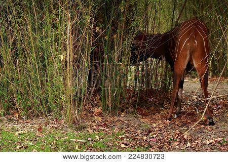 The behind of a bongo (antilope), Belgium