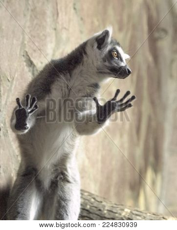 A ring-tailed lemur, Lemur catta, has reared on its hind legs and leaned against a display window glass. The lemur has fluffy grey hair, a touching snout, crooked fingers, and expressive orange eyes.