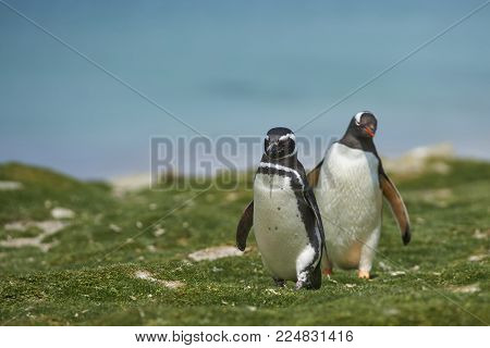 Magellanic Penguin (Spheniscus magellanicus) heading inland from the sea on the coast of Bleaker Island in the Falkland Islands. Gentoo Penguin (Pygoscelis papua) in the background.