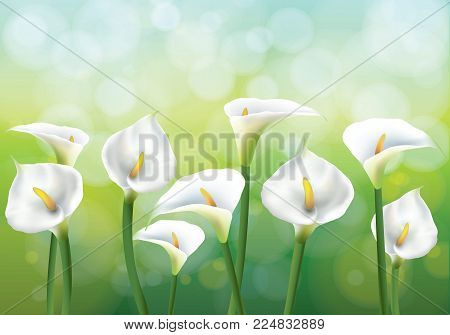 Vector illustration of spring background with flowers - callas lily. Callas on the green backgraund.