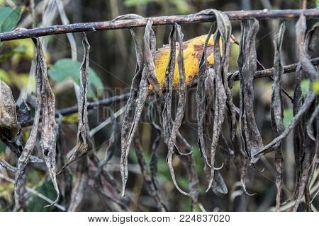 Withered Growths On A Branch In Late Autumn
