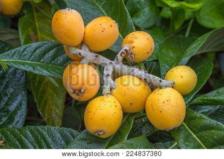 Loquat fruits Eriobotrya japonica on tree. Ripe yellow fruits