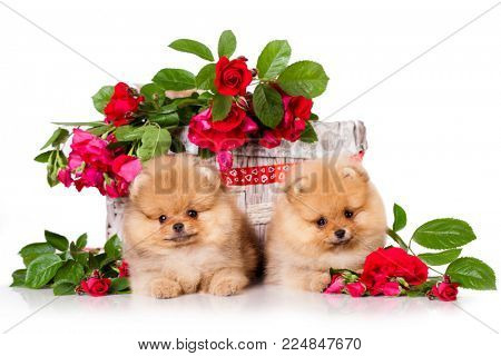 Pomeranian Spitz couple of lovers