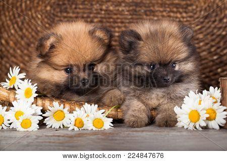 Pomeranian Pomeranian and Chamomile