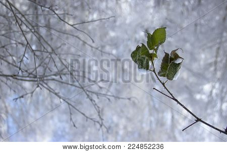 winter bare branches and on the other side a branch with leaves