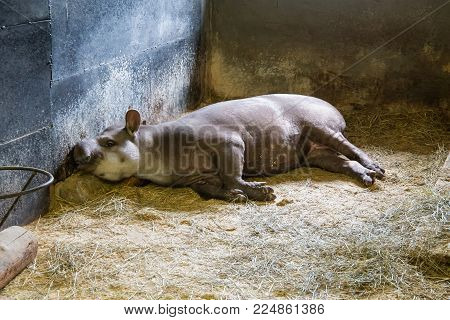 Funny South American tapir lying on a dry grass in a zoo.