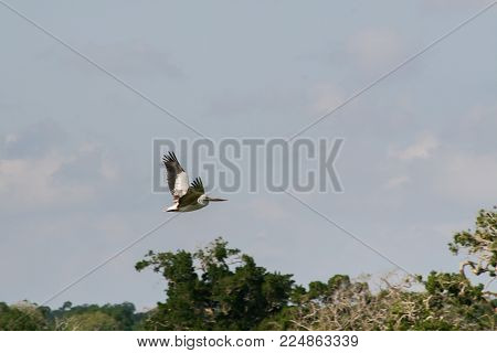 Sri Lanka. Safari in the national park of Yala. Pelicans and their nests on the tree