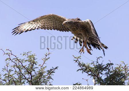 emale Pale Chanting Goshawk sitting in a tree against the blue Kalahari sky