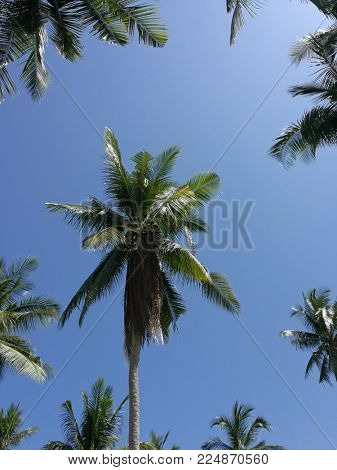 Coconut trees against tropical blue sky