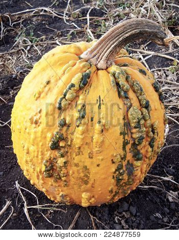 Autumn orange gourd with pimples and bumps. Pumpkin is in vegetable garden.