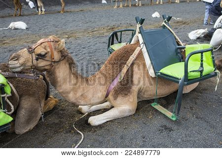 A Camel Resting And Waiting For Tourists To Arrive For Camel Rides Around Timanfaya National Park In