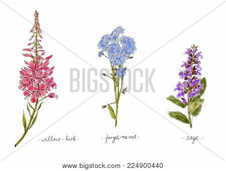 Wild Plants And Flowers Hand Drawn In Color. Willow, Forget-me-not And Sage. Herbal Vector Illustrat