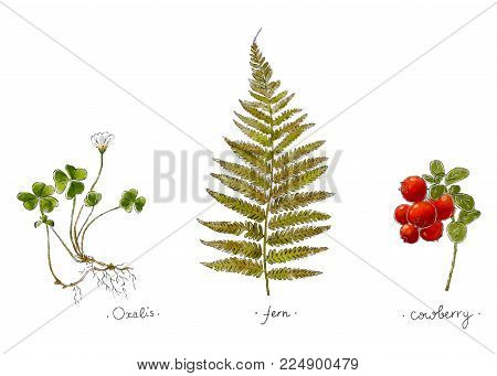 Wild Plants Hand Drawn In Color. Oxalis, Fern And Cowberry. Herbal Vector Illustration