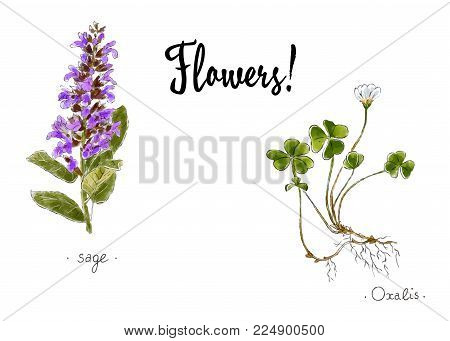 Wild Plants And Flowers Hand Drawn In Color. Oxalis And Sage. Herbal Vector Illustration