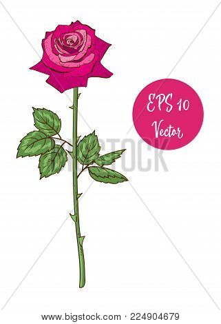 Single Pink Rose Flower Vector Illustration, Beautiful Valentine Rose On Long Stem Isolated On White