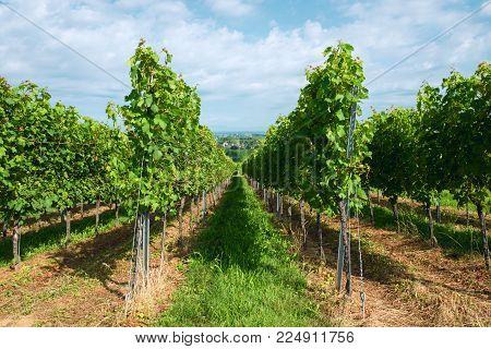 Summer Landscape With Vineyard And Blue Sky.