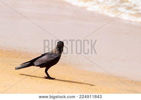Black raven on sand beach. vagues sur la rive