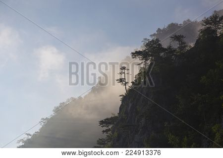 Pine Trees In The Morning Mist On Tara Mountain In Serbia