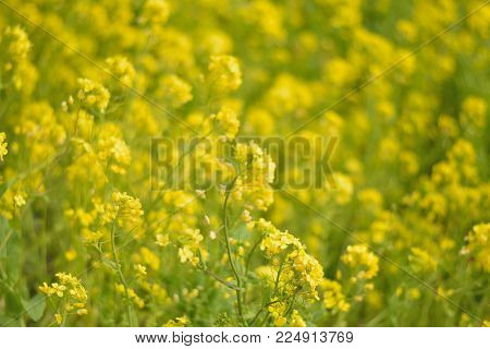 Spring Background Of Yellow Rapeseed Flower Fields In Sunshine