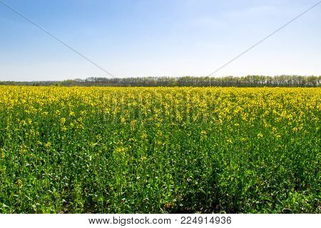 Field Of Yellow Flowering Rapeseed