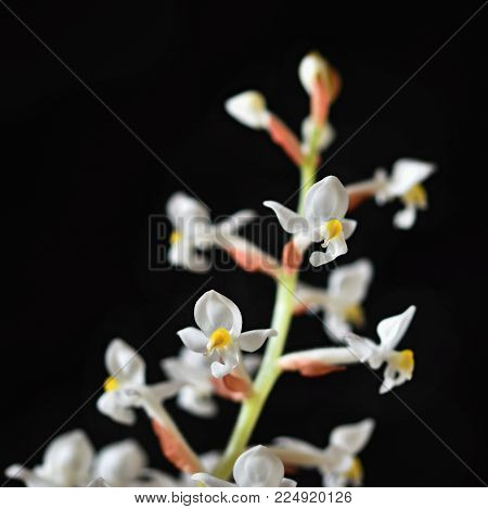 Ludisia Discolor (jewel Orchid) A Beautiful Blossoming White Flower On A Clean Black Background.