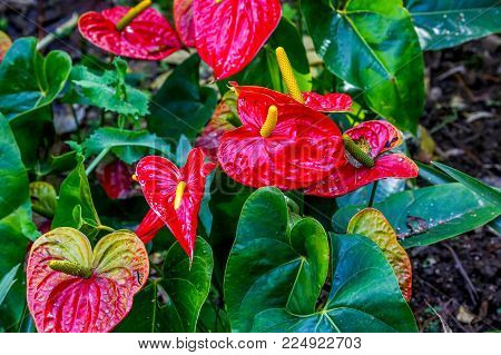 Close up on Red anthurium flower in a parck on sunny day