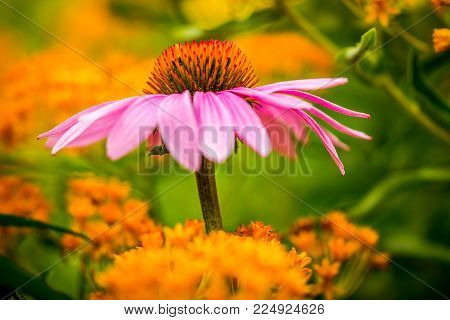 A Purple Coneflower Surrounded By Orange Flowers In The Background.
