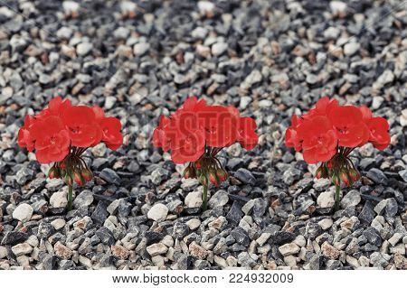 Close-up of three red flowers growing up from the gravel. The concept of life and motivation. Struggle for life. Desire to live