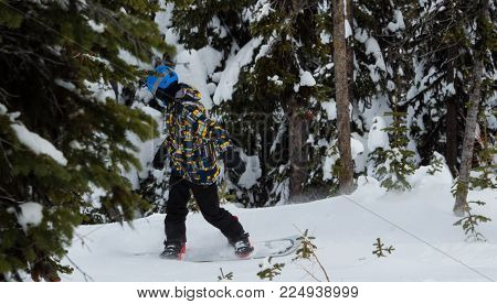 Snowboarder takes his board to the backcountry in amongst the trees and away from the groomed trails.