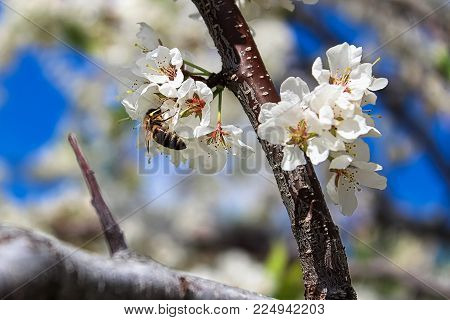 A bee pollinating plum blossoms in spring.
