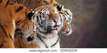 Close up of three Amur tigers, playing by rubbing their heads together, showing affection. One with an open mouth showing teeth. Banner with space for text.