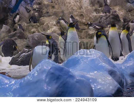 Spain, Tenerife, Puerto de la Cruz, 2017, December 28: group of Emperor penguin with blue ice and artiicial rocks  in the largest zoo in Canary Islands - Loro Parque, Loro Park  most popular attraction on Tenerife