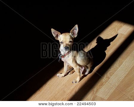 a chihuahua in the sunshine on a wooden floor