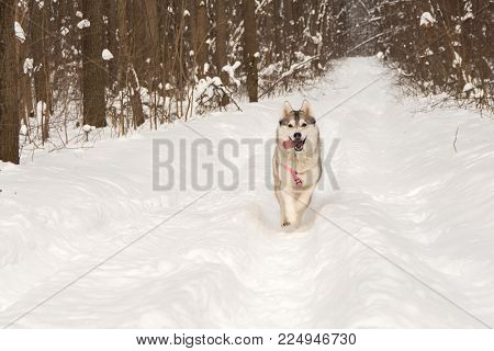 Siberian husky wolf dog in winter forest outdoor on the snow
