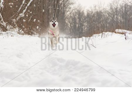 running husky wolf dog in winter forest outdoor on the snow