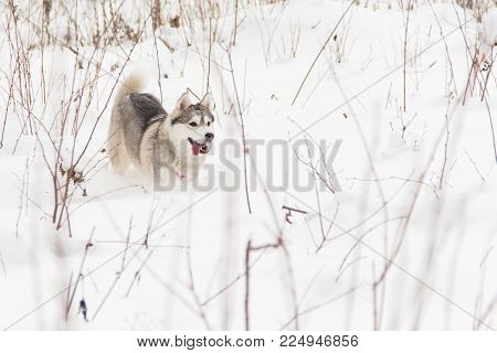 running Siberian husky wolf dog in winter forest on the snow
