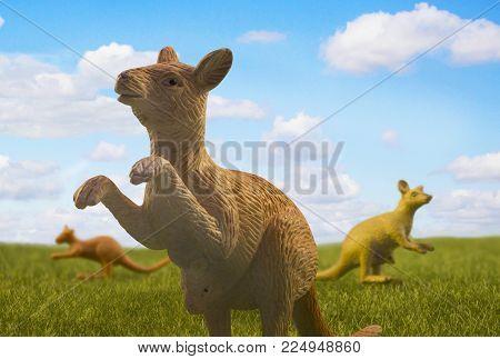 Three kangaroos walking on the meadow on sunny summer day.
