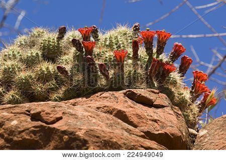 A cactus with red flowers growing on the edge of a cliff near Sedona Arizona.
