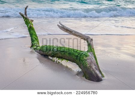 Moss Covered Driftwood On The Beach In The Dominican Republic.
