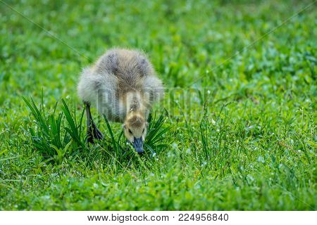 A Canada Goose chick feasting on the grass. Algonquin Park, Ontario, Canada.