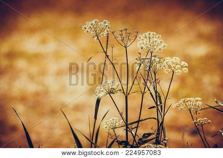 Floral herb, botany nature concept. Wild growing herbs or flowers on meadow field