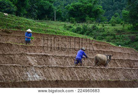 Farmer With Buffalo On Rice Field