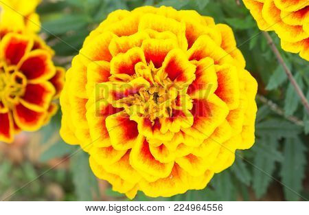 Orange yellow Marigold flowers in garden center view. Beautiful Marigold flowers for design. Marigold flowers background. Fresh and Bright Marigold  flowers for decoration