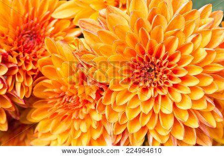 Ligth orange yellow Mum flowers in garden. Beautiful Mum flowers background. Mum flower for design or decoration. Cute Mum flowers  for love scene.