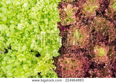 Red leaf lettuce or red coral and green oak lettuce in garden. Red leaf lettuce or red coral and green oak lettuce for vegan or vegetarian food.  Good for diet and health.